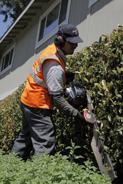 landscaper trimming a hedge at an apartment complex in Stockton