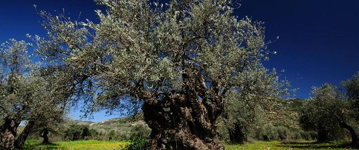 The Ins and Outs of Spraying Olive Trees: Less Mess, Longer Life
